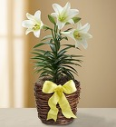 Easter Sentiments - Lily Plant From Ka'bloom, your flower shop in Sylvania, OH