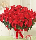 Poinsettia Plant From Ka'bloom, your flower shop in Sylvania, OH