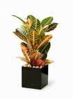Croton Plant From Stellar, your flower shop in Sylvania, OH