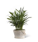 The FTD Deeply Adored(tm) Palm Planter From Stellar, your flower shop in Sylvania, OH