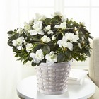 The FTD White Azalea Plant  From Stellar, your flower shop in Sylvania, OH