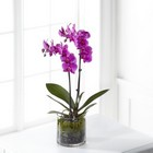The FTD Pink Orchid Plant From Stellar, your flower shop in Sylvania, OH